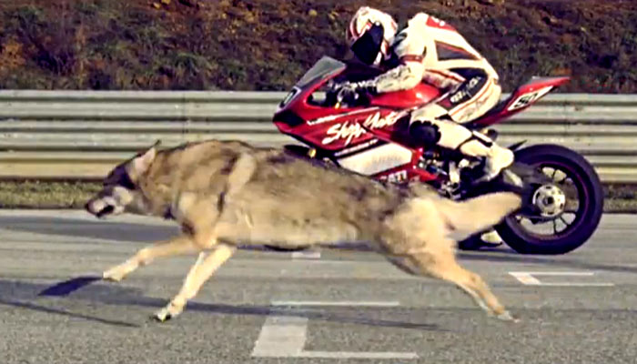 Ducati 1199 Panigale meets Wolf